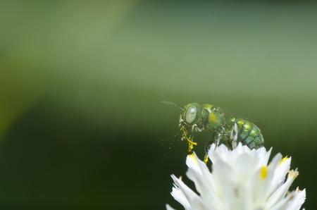 green bee on flower Stock Photo - 10088196