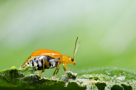 orange beetle in forest photo