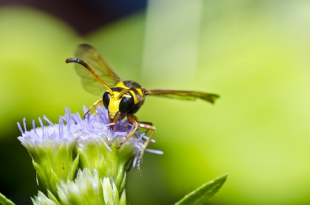 yellow wasp in jungle Stock Photo - 10088201