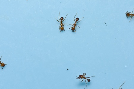 red fire ant in garden or in the nature photo