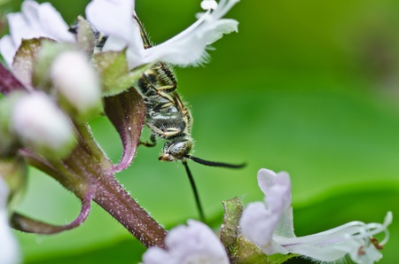 black mammoth: mammoth wasp in green nature or in the garden