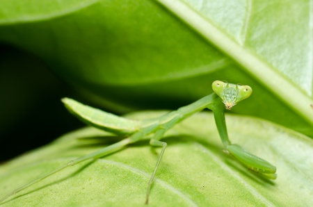 little mantis in green nature or in the garden photo