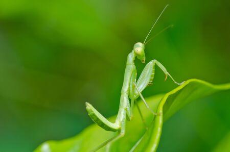 mantis in green nature or in garden