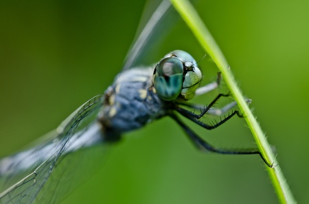moustached: dragonfly  in green nature or in the garden Stock Photo