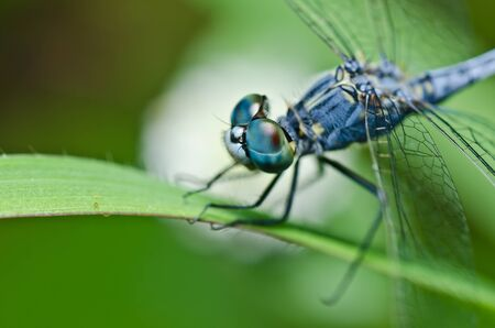anisoptera: dragonfly  in green nature or in the garden Stock Photo