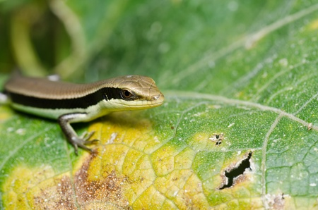 hide Skink in garden or in green nature photo