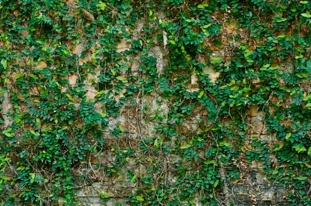 ivy on old grunge brickwall in rustic city