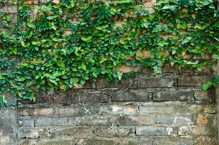 ivy on old grunge brickwall in rustic city photo