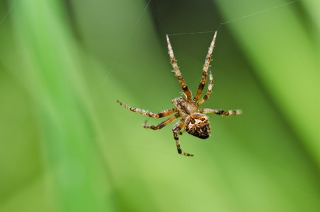 spider in nature or in the garden