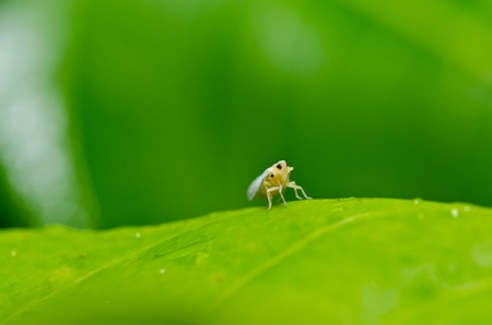 Aphid insect in green nature or in the garden