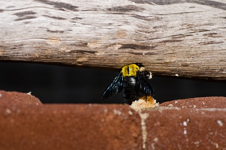Carpenter bee in the nature or in the garden.It's danger