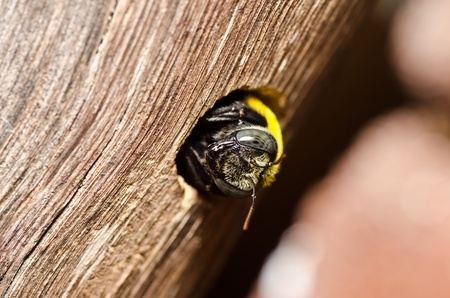 Carpenter bee in the nature or in the garden.Its danger