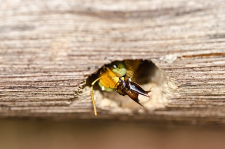 Carpenter bee in the nature or in the garden.It