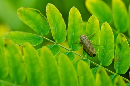 aphid: Aphid insect in green nature or in the garden