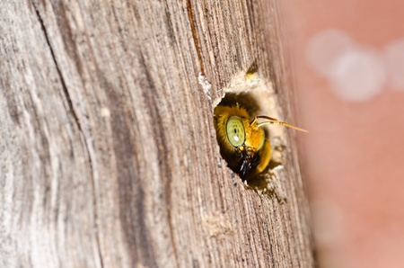 Carpenter bee in the nature or in the garden.Its danger photo