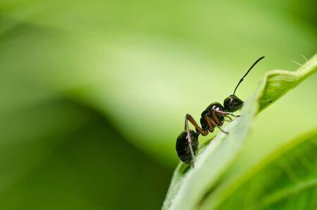 hormiga: hormiga negro en la naturaleza verde o en el jard�n Foto de archivo