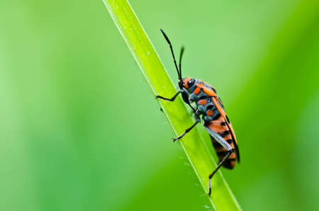 red hemiptera in green nature or in the garden