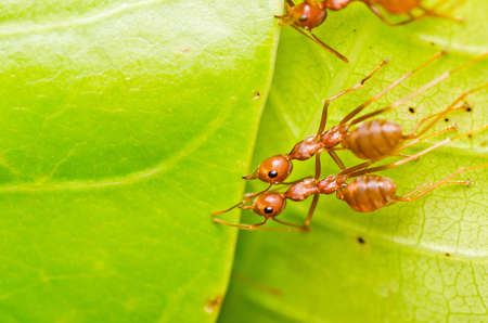 red ant teamwork on green leaf photo