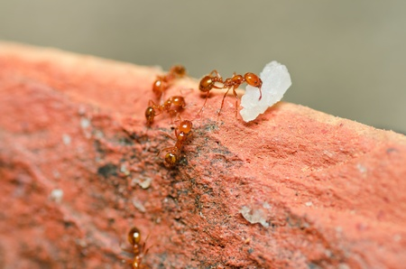 fire ant teamwork in nature or in the garden photo