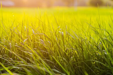 grass at sunset in the evening Stock Photo - 12989242