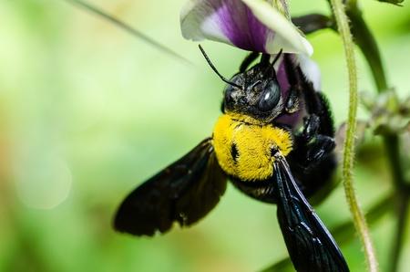 Carpenter bee macro in the nature or in the garden.Its danger