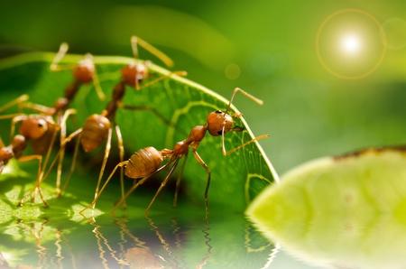 hormiga: equipo de la hormiga roja de trabajo de construcci�n de viviendas