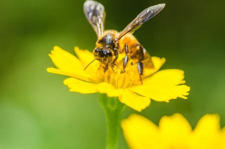 bee macro in green nature or in the garden