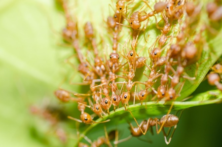 red ant teamwork in green nature or in the garden photo