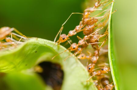 red ant teamwork in green nature or in the garden Stock Photo - 14568003