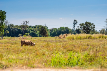 Cow on green grass in the nature photo