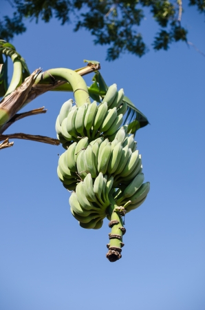 Bunch of ripening bananas on tree and sky photo