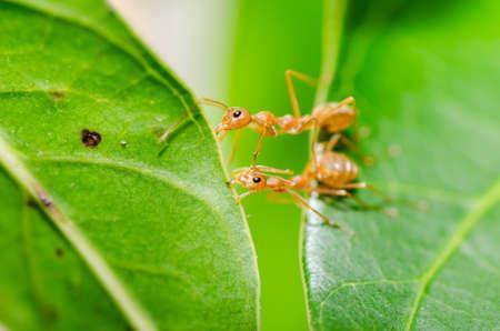 hormiga hoja: poder hormiga roja en la naturaleza