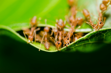 red ant teamwork in the nature photo