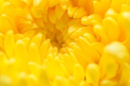 Chrysanthemum Flowers macro in the garden photo