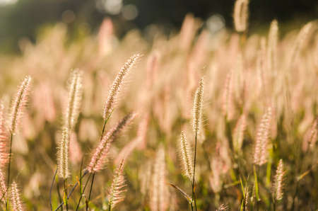 Flower foxtail weed in the green nature Stock Photo - 16673756