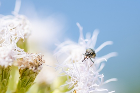Hover flies  on white flowers plants in the nature photo