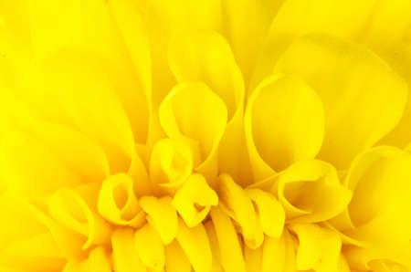 Chrysanthemum flower macro flower in the nature or in the garden photo