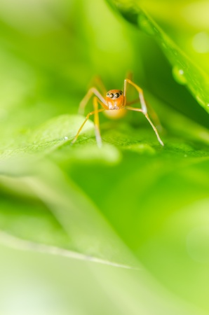 mimic: Ant mimic spider in the nature or in the garden