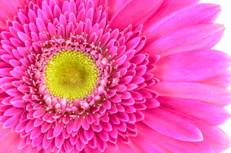 Pink gerbera daisy flower macro shot in white background photo