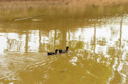 Duck is in the river in countryside farm in Thai photo