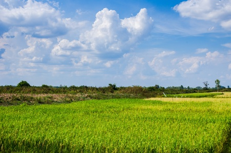 Rice field in Thailand in the agriculture industry  concept photo