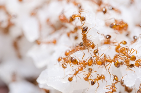 Red fire ants on the rice in home