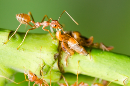 Red ant and aphid on the leaf in the nature photo