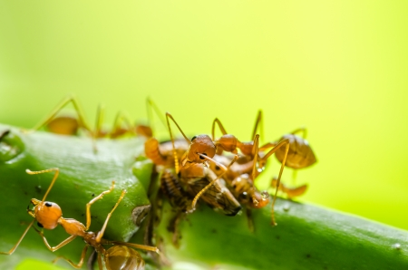 aphid: Red ant and aphid on the leaf in the nature