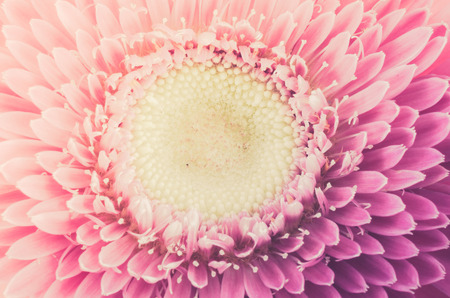Pink gerbera daisy flower macro shot in white background photo