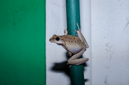 Common Bush Frog or Rhocoprus Leucomystax outdoor at night