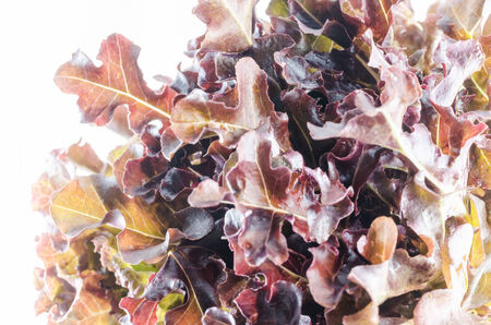 hydroponics red oak vegetable salad in the organic nature photo