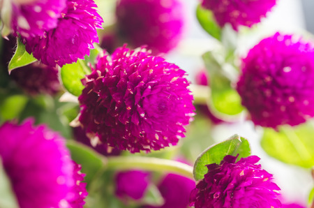 Globe Amaranth or Bachelor Button flower macro close-up shot in nature photo