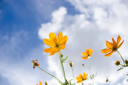 Yellow Cosmos flower and blue sky in thr nature photo
