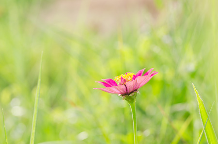 Zinnia flower and green background in the garden nature and park photo